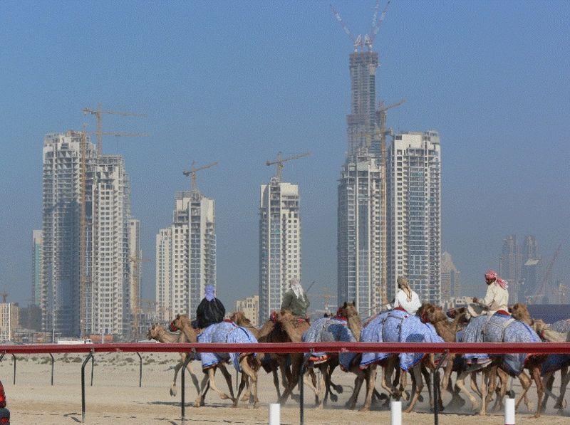 Верблюжьи бега в Дубае