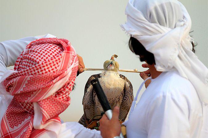 Соколиная охота в Эмиратах